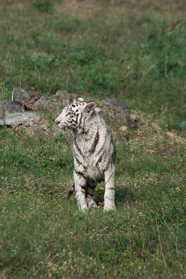 Playful young white tiger cub in India. It is said that all the white tigers around the world are from the genetic lineage of one white tiger named Mohan who royalty free stock images