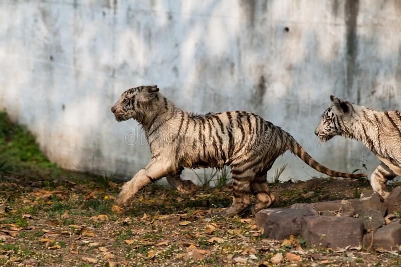 Playful young white tiger cubs in India. Playful young white tiger cub in India. It is said that all the white tigers around the world are from the genetic stock image
