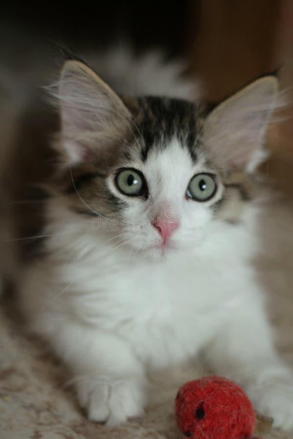 playfull kitten royalty free stock photo