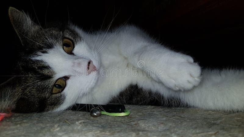 Playfull lying domestic tabby cat royalty free stock photo