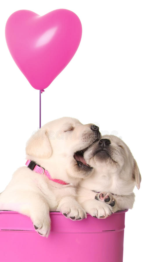 Playfull puppies stock photography