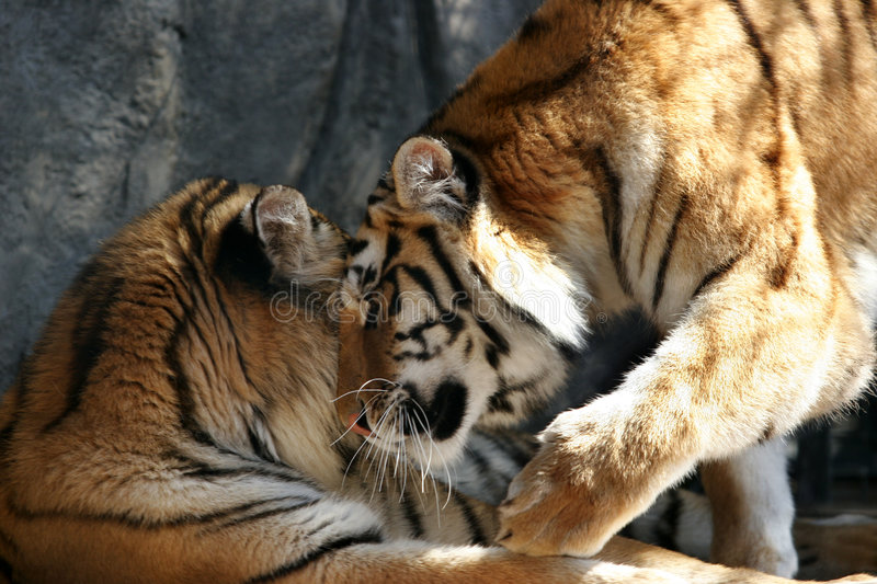 Playing. Two tigers rescued from illegal breeders they are now well taken care of stock photo
