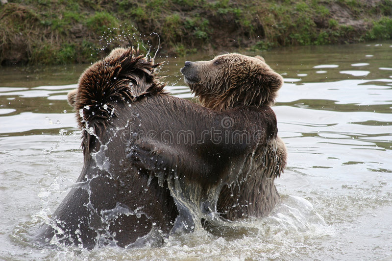 Playing bears. Playing brown bears in a lake stock photography