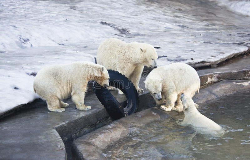 Playing bears. A Mama bear and three bear playing in the water royalty free stock image