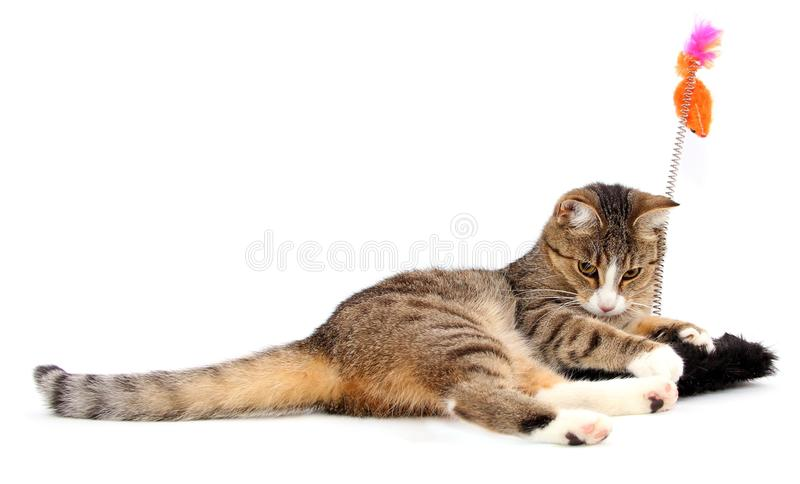 Download Playing cat stock image. Image of amusement, hungry, grey - 21762553