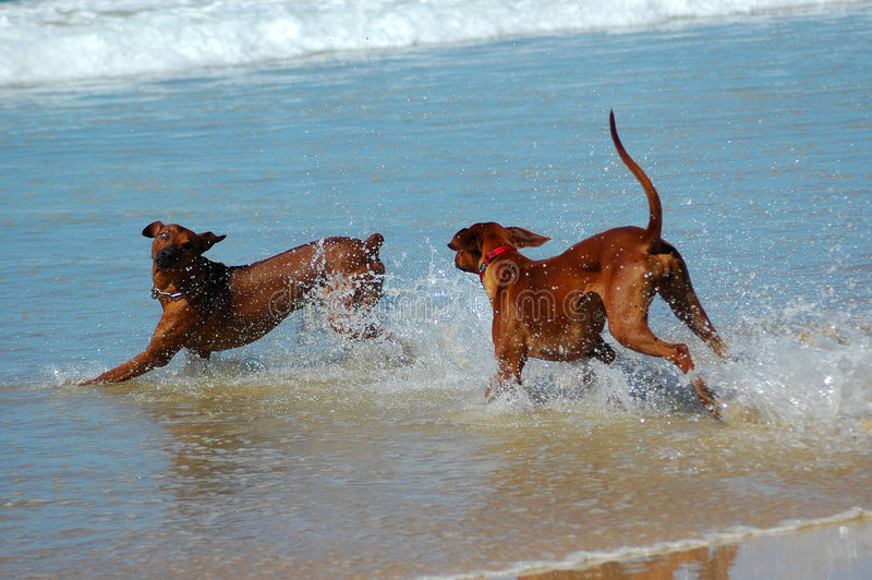 Playing dogs royalty free stock photography