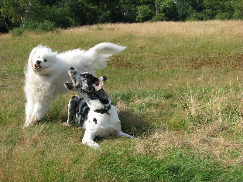 Download Playing dogs stock image. Image of countryside, play, white - 3723637