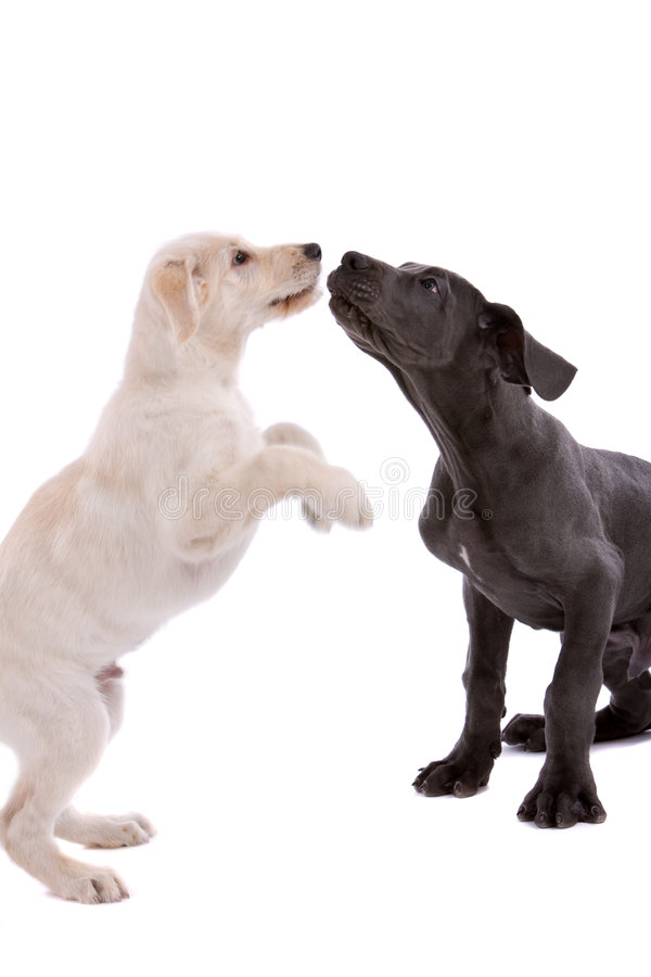 Download Playing dogs stock photo. Image of adorable, friend, isolated - 7262126