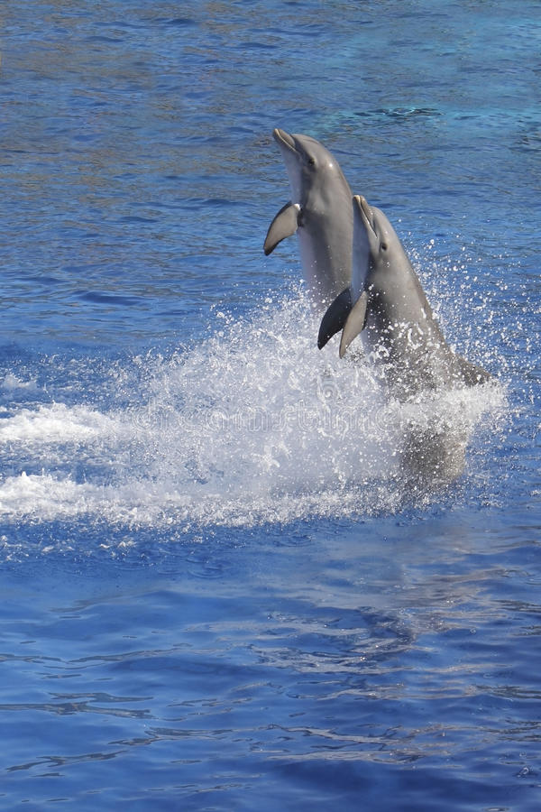 Download Playing dolphins stock image. Image of performing, show - 23664973