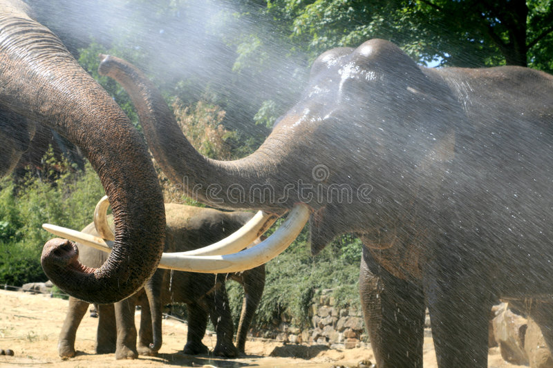 Playing elephants in summer royalty free stock photos