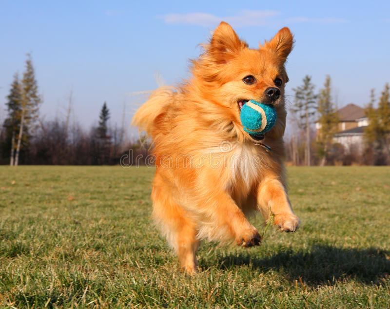 Playing Fetch. Small Dog Playing Fetch with Ball in Park royalty free stock photo