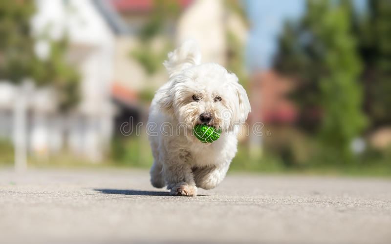 Playing fetch with cute dog. Playing fetch with cute white dog royalty free stock photos