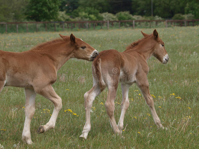 Download Playing Foals stock image. Image of equestrian, field - 28925245