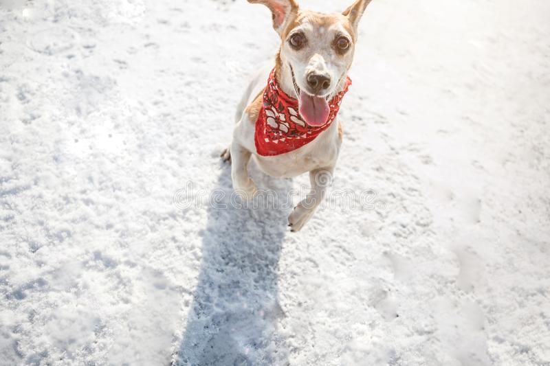 Playing funny dog jumping on snow. Winter games outside with dog. Fashionable red scarf bandana. Backlight sunny winter stock photography