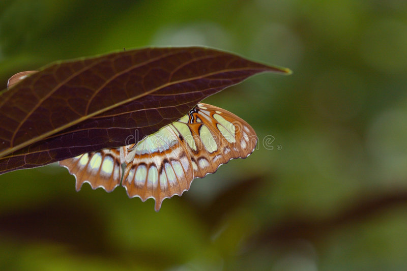 Playing Hide and Seek: Malachite Butterfly royalty free stock photo