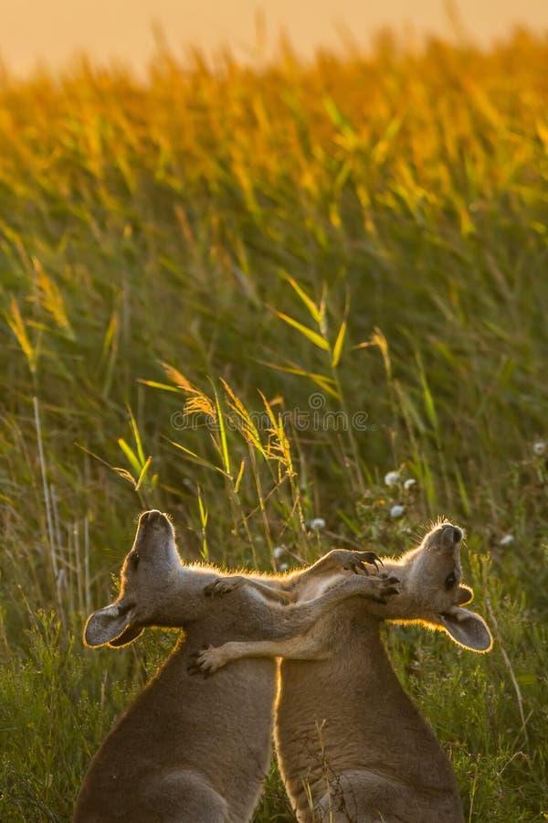 Playing kangaroo. Two playing or fighting kangaroos stock photo