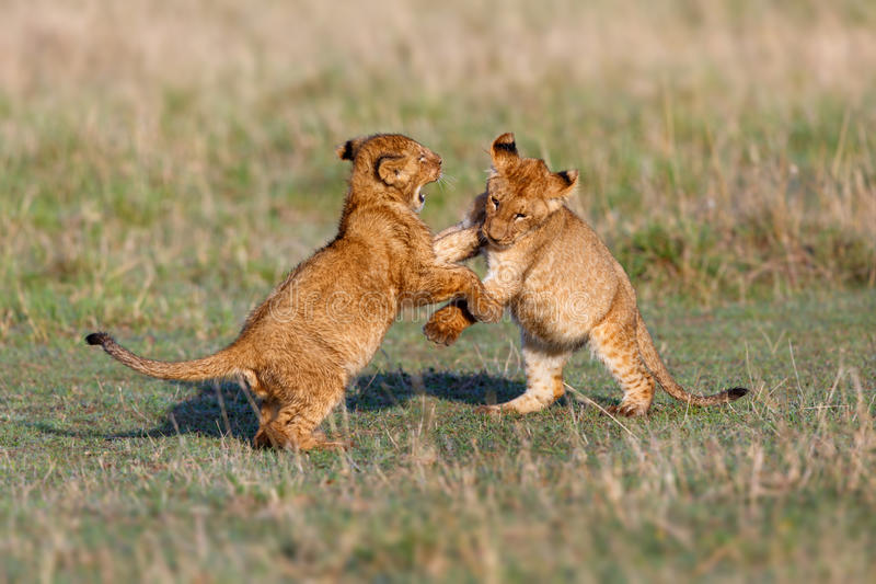 Playing Lion cubs. In Masai Mara, Kenya royalty free stock image