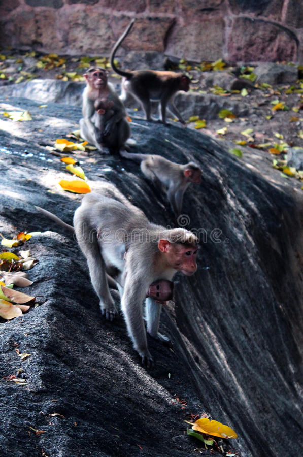 Playing monkeys in the fort of tirumayam stock image