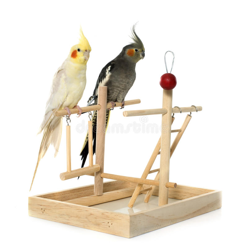 Playing parakeet and Cockatiel royalty free stock images