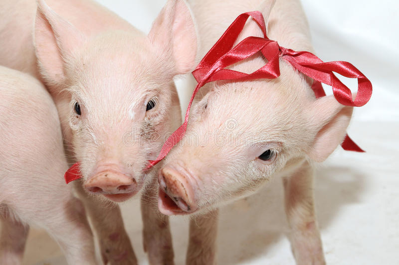 Playing Piglets stock images