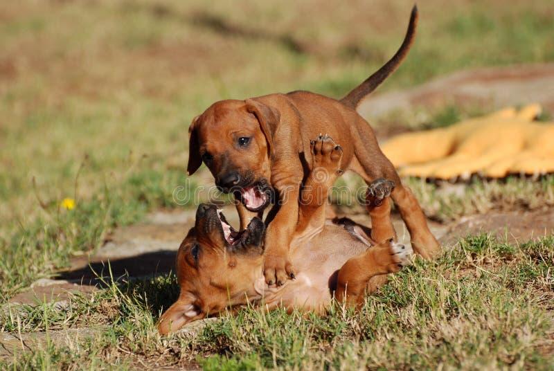Playing Ridgeback puppies royalty free stock image