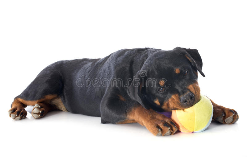 Playing puppy rottweiler. Portrait of a playing puppy rottweiler in front of white background royalty free stock photo