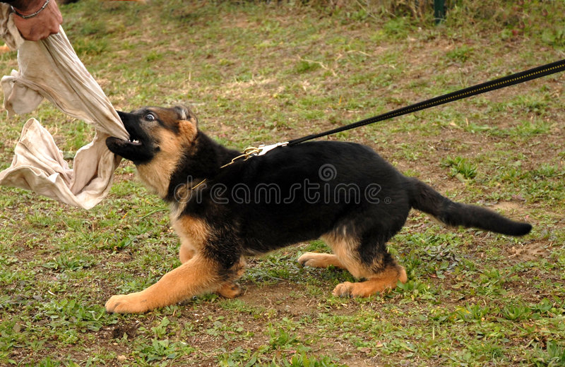 Playing puppy shepherd royalty free stock image
