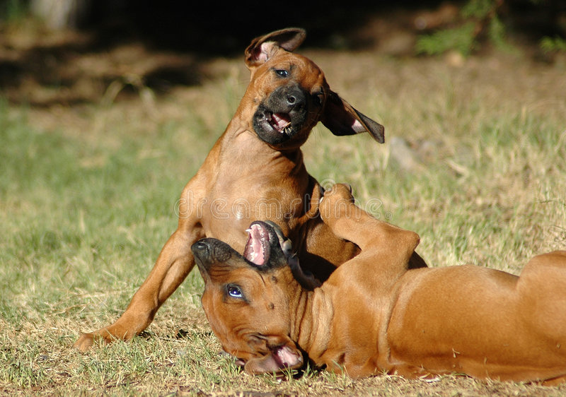 Playing pups royalty free stock images