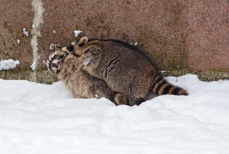Playing raccoons stock photo