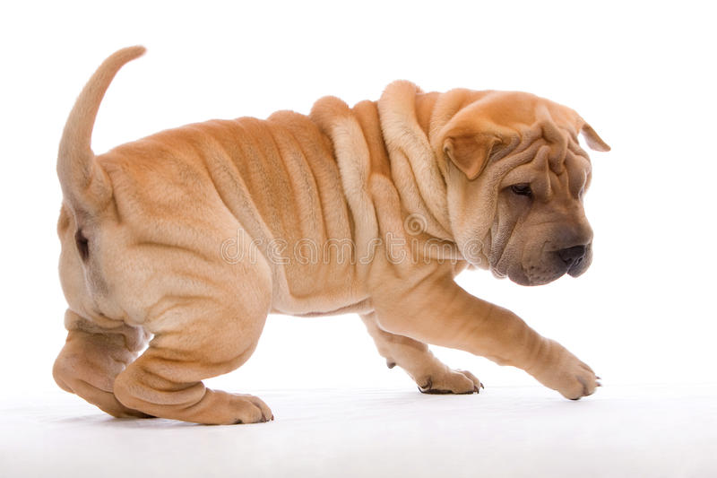Playing Shar Pei stock image
