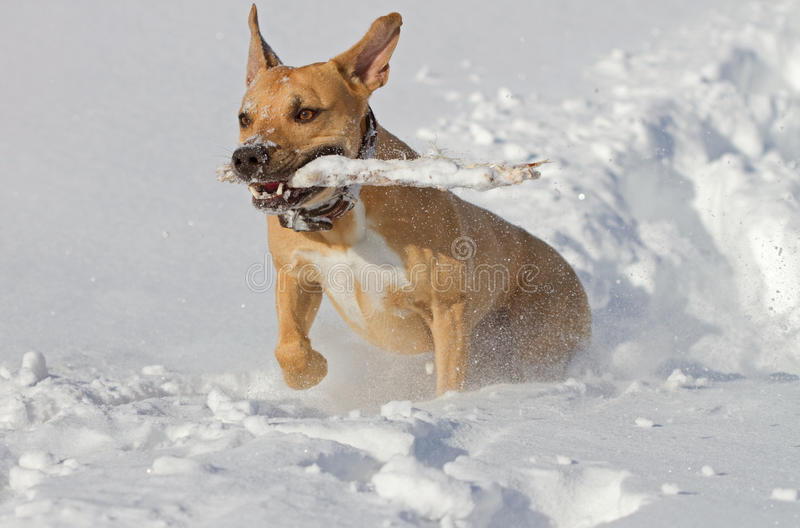Download Playing in the snow stock photo. Image of stick, terrier - 31991666