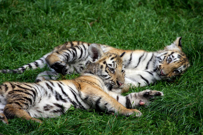 Playing tiger cubs. Siberian tiger cubs playing in the grass royalty free stock image