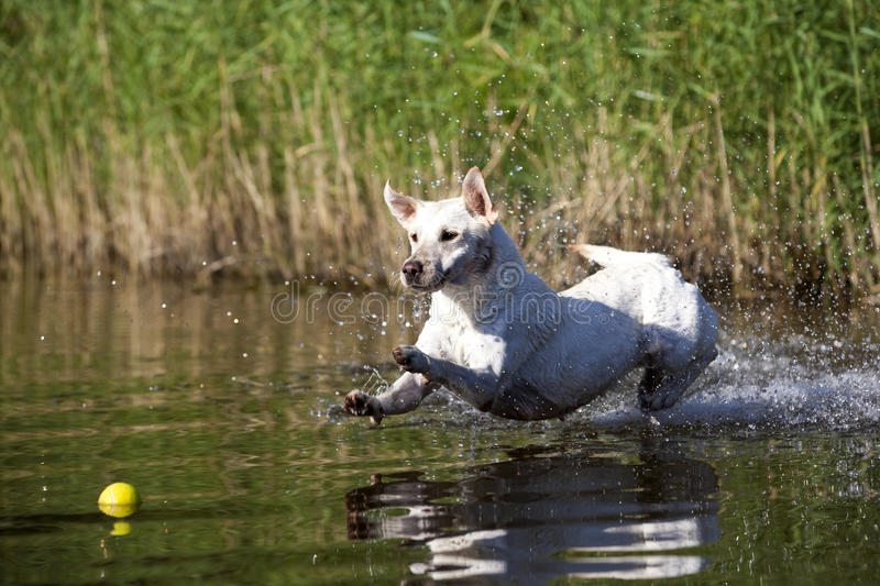 Playing White Labrador Retriever Female. Beautiful playing white labrador retriever female dog with nice expression in his face in water on a sunny day royalty free stock image