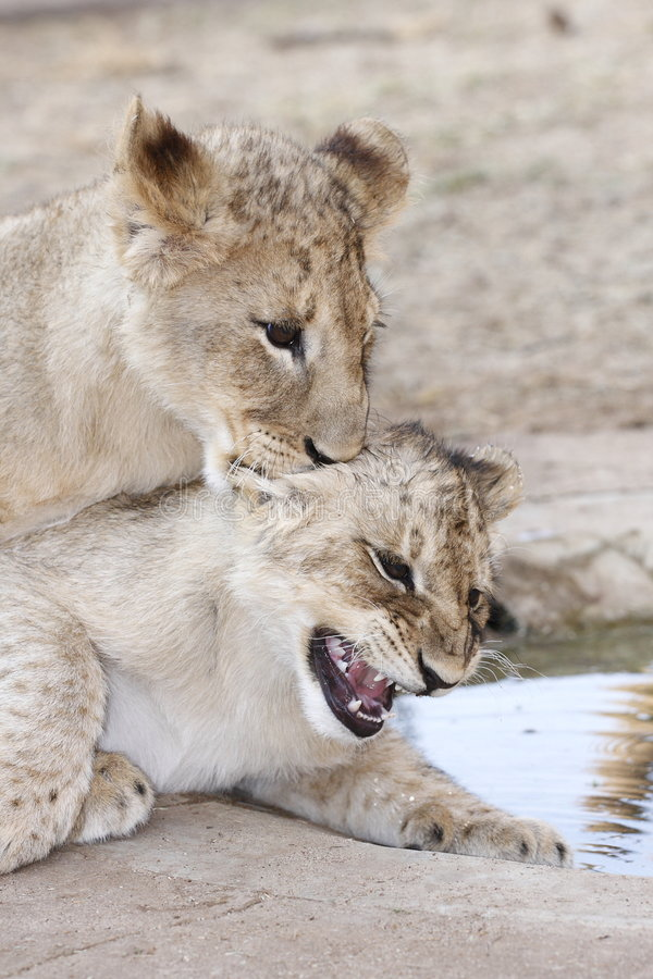 Playing young cubs. Two young cubs playing near a waterhole stock images