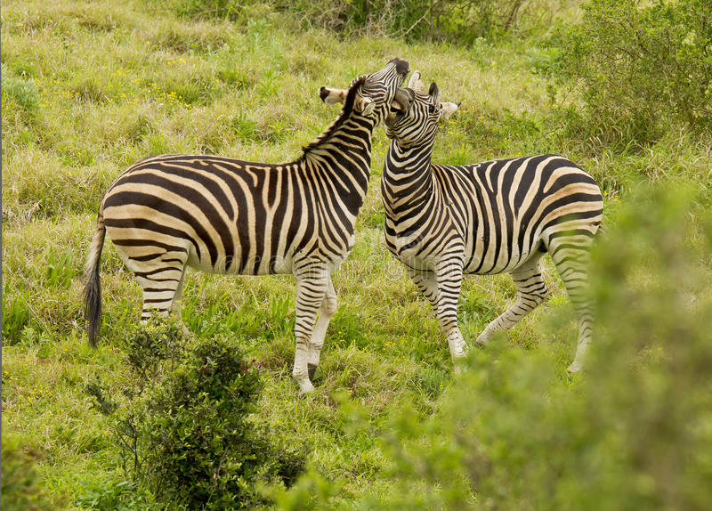 Playing zebra royalty free stock images