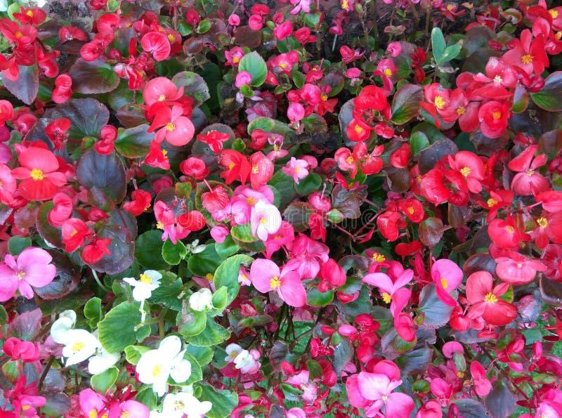 playnig för bakgrundsblommalampa Abstrakt röd blommatextre royaltyfria foton