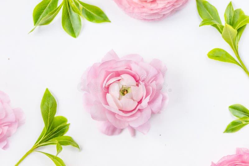 Playnig mit Leuchte Weiche rosa Ranunculusblumen mit gr?nen Bl?ttern Sommerblumenkarte Flache Lage lizenzfreies stockfoto