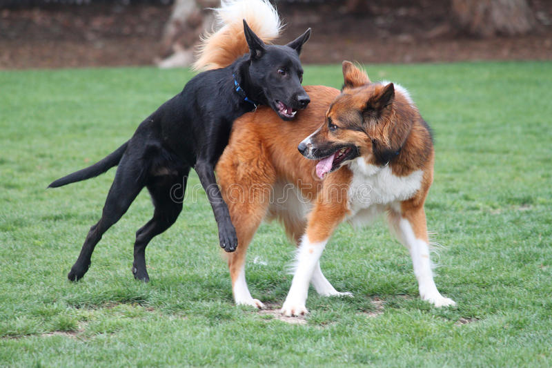 Download Playtime stock photo. Image of dogs, large, playing, pets - 24333246