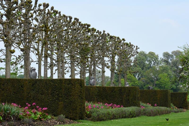 Pleached прогулка известки, Yew и тюльпаны, аббатство Mottisfont, Хемпшир, Англия стоковая фотография rf