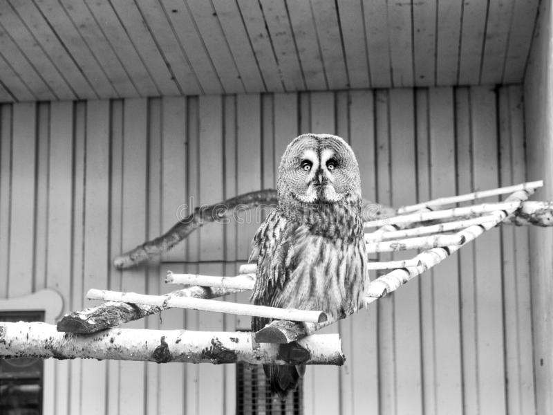 Please allow it to fly. Great grey owl with cryptic plumage. Cute owl bird with large eyes and hawk beak. Owl perched in. Zoo cage. Prey bird of typical owl stock photo