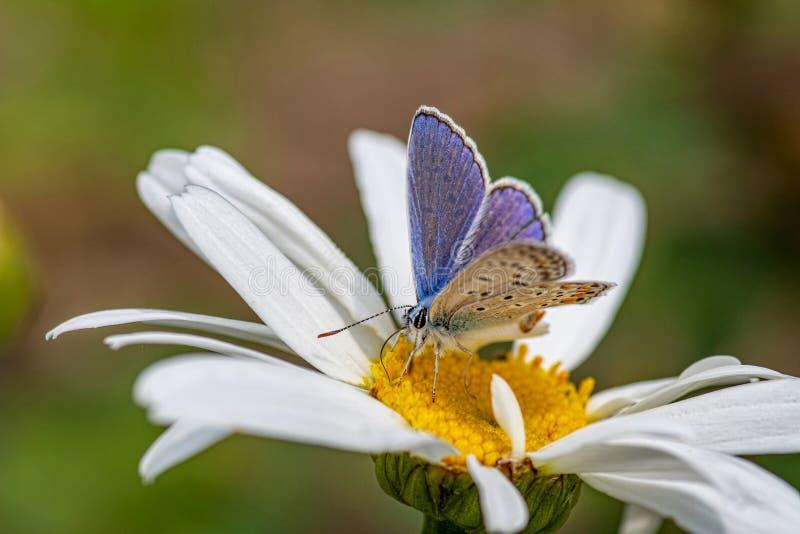 Plebejus argus, серебрит обитую голубую бабочку подавая на одичалом fl стоковое фото rf
