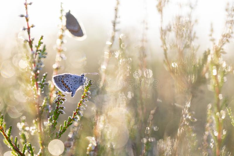 Plebejus argus on heather - Texel stock photo
