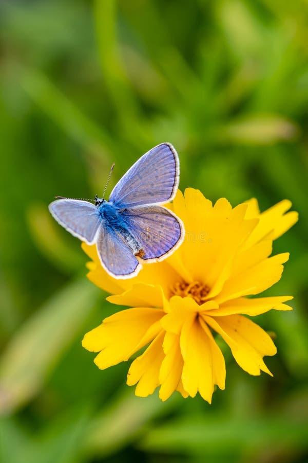 Plebejus argus, silver dubbade den blåa fjärilen som matar på lös fl royaltyfri foto