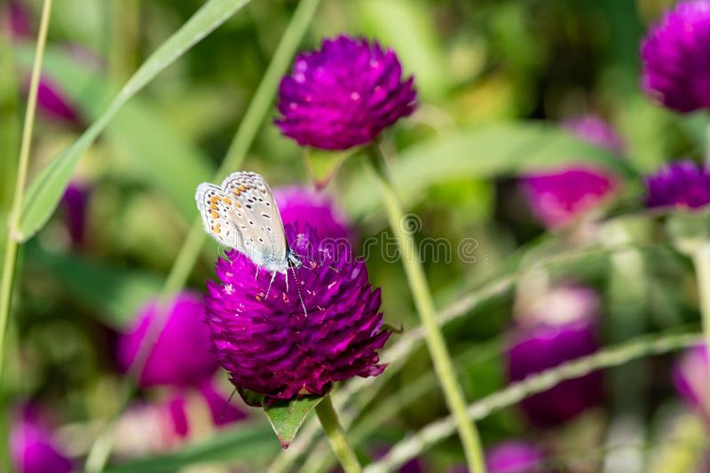 Plebejus argus, Silver Studded Blue Butterfly feeding on wild fl royalty free stock photo