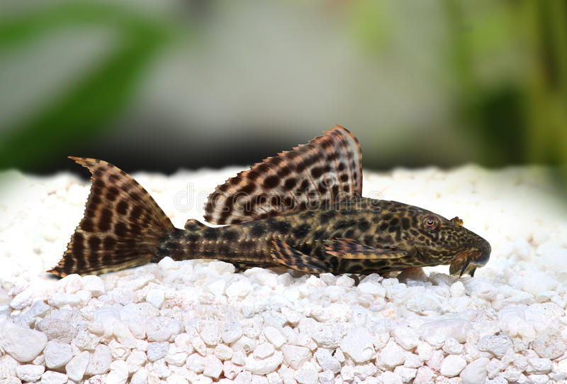 Pleco鲶鱼Hypostomus Plecostomus鱼Pterygoplichthys pardalis 库存照片