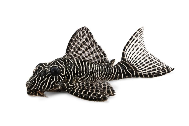 Pleco鲶鱼L-260女王蔓藤花纹Hypostomus sp Plecostomus水族馆鱼 库存照片