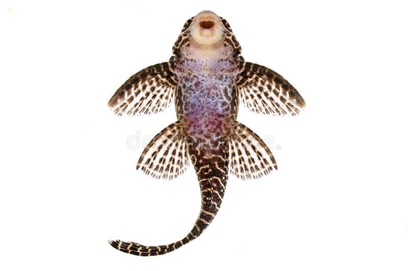 Pleco鲶鱼L-260女王蔓藤花纹Hypostomus sp Plecostomus水族馆鱼 库存图片