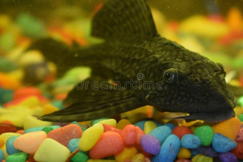 Plecostomus鱼坦克擦净剂 免版税图库摄影