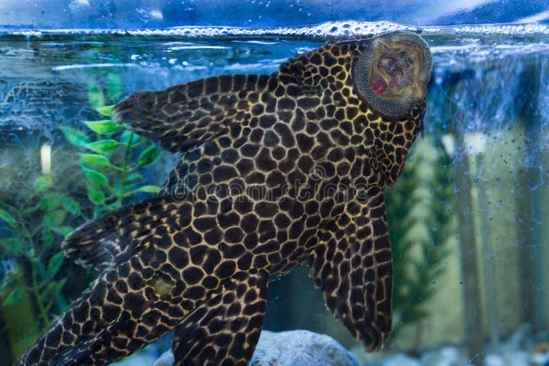 Plecostomus-Mund stockfoto