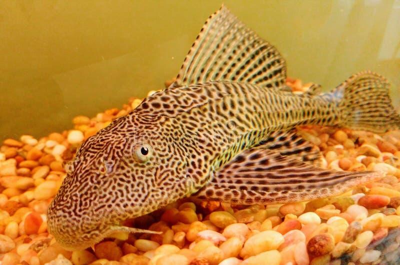 Plecostomusvissen stock afbeeldingen